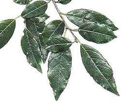 Rhamnus prinioides, leaves.jpg