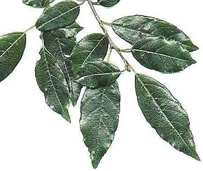 Blätter des Afrikanischen Faulbaums
