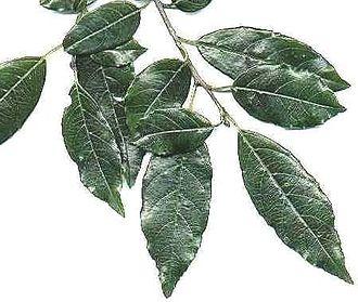 Rhamnus prinoides - R. prinoides foliage