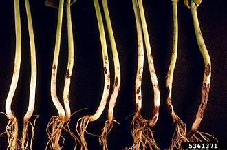 Rhizoctonia solani - Symptoms on common beans, Rhizoctonia damping off, blight, and rot