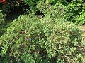 Rhododendron canadense var. albiflorum 01.JPG