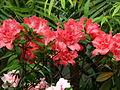 Rhododendron cv. 031.JPG