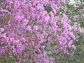 Rhododendron dilatatum ja01.jpg