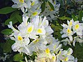 Rhododendron weiß - panoramio.jpg