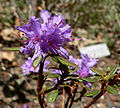 Rhododendron yungningense 1.jpg