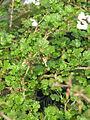 Ribes aff californicus (16846734962).jpg