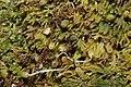 Riccardia palmata (d, 144726-474808) 2964.JPG