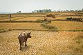Rice fields and buffalos in Vemasse.jpg