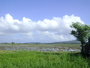 Calapan - Vast ricefields such as this one in Barangay Bayanan II is a common scenery in Calapan.