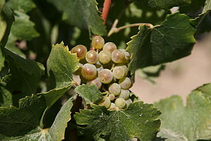 Riesling grapes at Bonair Winery, Yakima River...