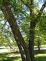 River Birch P7010522.jpg