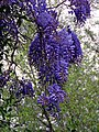 River Ching footpath 20, Wisteria flowers, South Chingford, London, England.jpg