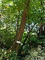 Robinia ,pianta al interno del Parco del Monte Barro.jpg