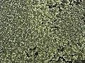 Rock Shield Lichens (4504243077).jpg