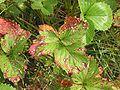 Rode-vlekkenziekte (Diplocarpon earlianum).jpg