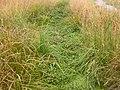 Rorippa nasturtium-aquaticum (Nasturtium officinale) (5003030762).jpg