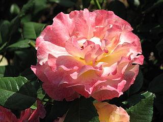 Rosa 'Aquarelle' 03.JPG