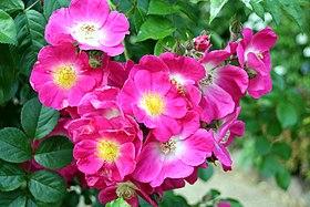 rosier blanc remontant