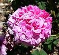 Rosa Nubienne 1.jpg