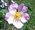Rosa canina inflorescence (112).jpg