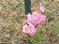 Rosa chinensis0.jpg