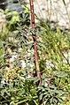 Rosa glauca stem (04).jpg