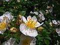 Rosa multiflora flowers2.jpg