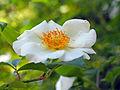 Rosa onoei var. oligantha (17427983545).jpg