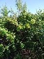 Rosa rugosa plant (01).jpg