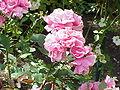 Rosa sp.261.jpg