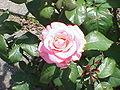 Rosa sp.275.jpg