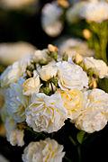 Rose, Golden Border - Flickr - nekonomania (2).jpg