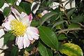 Rose of Sharon IMG 0005.jpg