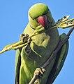 Rose ringed parakeet(Psittacula krameri) 5.jpg