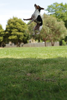 Tenterfield Terrier Wikipedia
