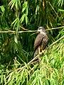 Rostramus sociabilis (Caracolero lagunero) - Juvenil - Flickr - Alejandro Bayer.jpg