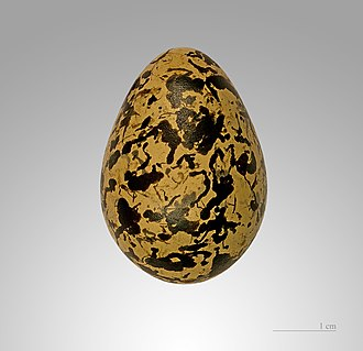 Painted-snipe - A specimen of an R. benghalensis egg.