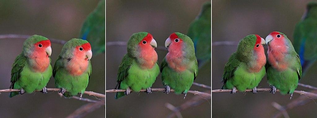 Rosy-faced lovebirds (Agapornis roseicollis roseicollis) composite.jpg