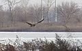 Rough-legged Hawk - CM (31399984203).jpg