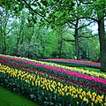 Rows of tulips and trees at Keukenhof gardens.jpg