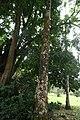 Roystonea Oleracea 02.jpg