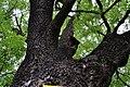 Rozhyshche Volynska-Fraxinus ordinary nature monument-details.jpg