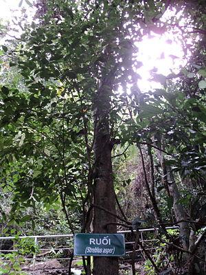 Streblus asper - A Streblus asper tree in Phong Nha-Kẻ Bàng National Park
