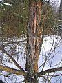 Rubbing tree 3 bialowieza benntree.jpg