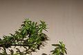 Rubiaceae-230216-2.jpg