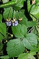 Rubus caesius 02 by-dpc.jpg