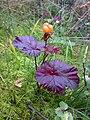 Rubus chamaemorus 06.jpg