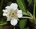 Rubus illecebrosus (flower s5).jpg