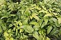 Rubus palmatus var. palmatus 02.jpg