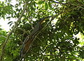 Rufescent tiger-heron (Tigrisoma lineatum) (5819553342).jpg
